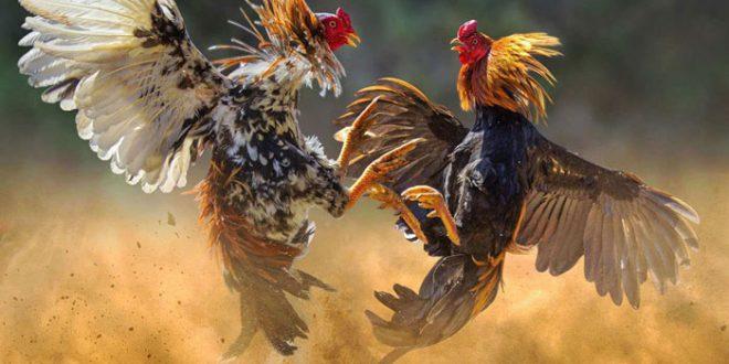 Scommesse sui combattimenti di galli